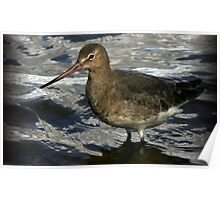 The Black Tailed Godwit Poster