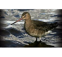 The Black Tailed Godwit Photographic Print