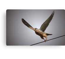 Going Off Line - Kestrel Canvas Print