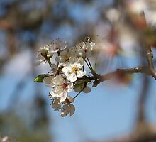 Small Wasp on Cherry Blossom by Penny Odom