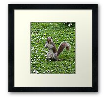 Grey Squirrel (Sciurus carolinensis) Framed Print