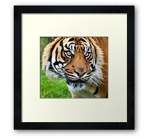 Nias Male Tiger at WHF Framed Print