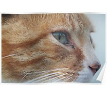 Velcro - Ginger Tabby Poster