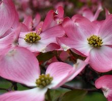 Dancing Dogwoods by Carrie Blackwood