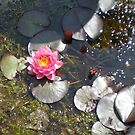 Pink Water Lily by Barry Norton