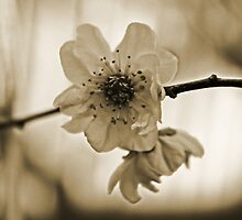 Cherry Blossom in Sepia  by Evita
