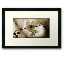 Cherry Blossom in Sepia  Framed Print