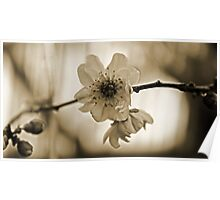 Cherry Blossom in Sepia  Poster
