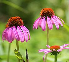 Purple Coneflowers by Laurel Talabere
