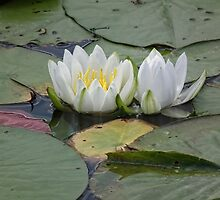 Water Lilies by marchello