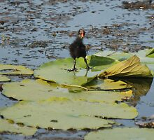 Cute Coot by Shelby  Stalnaker Bortone