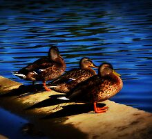 Three Ducks by SamTheCowdog