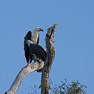Sea Eagles. by trevorb