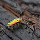 Shiny Beetle. by trevorb