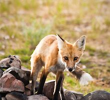 Red Fox in a Campfire Pit by cavaroc