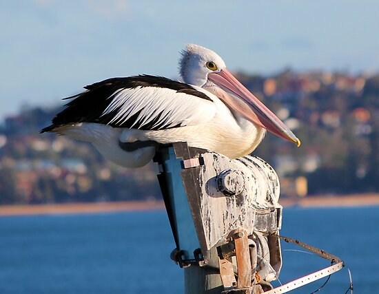 Pelican on the light pole at North Narrabeen Pool by Doug Cliff