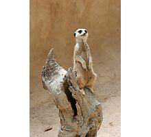 Meerkat, suricata suricata Photographic Print