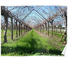 Winter grape vines in the Swan Valley Poster