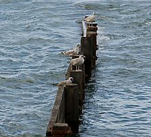Young Seagulls resting by BizziLizzy