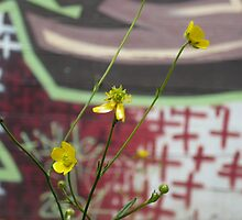 buttercups in the city by stupert