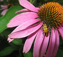 Coneflower with Yellow Bug by emilymhanson
