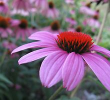 Coneflowers by emilymhanson