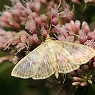 Mother Of Pearl Moth by Robert Abraham