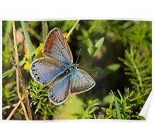 Female Common Blue Poster