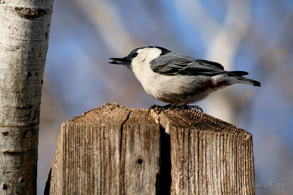 White-Breasted Nuthatch by Larry Trupp