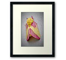 Lemon/Rasberry Sherbet Caddis Framed Print