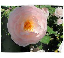 Twilight Peach Rose Poster