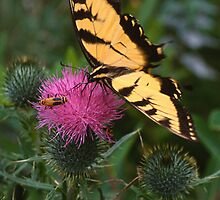 Swallowtail & Beetle on Thistle by Bill Spengler