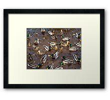 Duck10 Framed Print