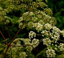 Wild Water Hemlock by LynnL