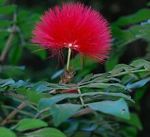 Red puffy flower in Hawaii by JaeCee
