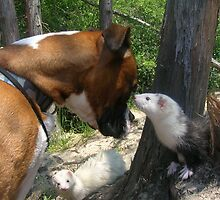 boxer and ferrets by cortypants