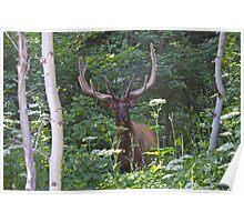 Bull Elk - Park City, Utah Poster