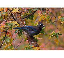 Autumn Jay Photographic Print