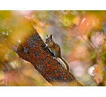 Chimpmunk in Autumn - Park City, Utah Photographic Print