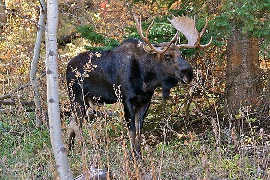 Bull Moose - Park City, Utah by FoxSpirit