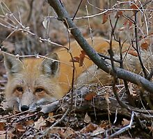 Red Fox Resting, Park City, Utah by FoxSpirit