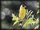 Goldfinch by Dennis Cheeseman