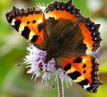 Small Tortoiseshell by Neil Bygrave (NATURELENS)