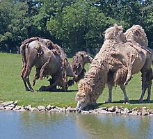 Bactrian Camels Shedding Their Winter Coat by Buckwhite