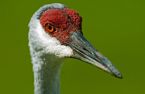 Sandhill eyes by Larry  Grayam