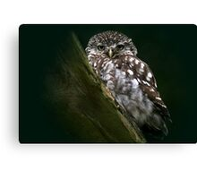 The Little Owl - None Captive Canvas Print