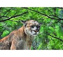 Cougar Mountain Lion & Pine Branches Wildlife Art Photographic Print