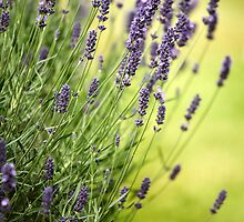 Lavender in My Mind by Andy Freer