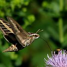 White-lined Sphinx Hummingbird Moth by swaby