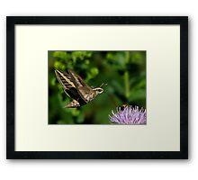 White-lined Sphinx Hummingbird Moth Framed Print